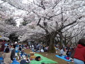 Cherry blossoms in yoyogi park